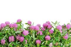 Fleur de trèfle violet. Fond blanc Images libres de droits