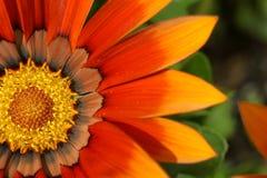 Fleur de trésor orange Images stock