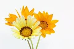 Fleur de trésor sur un fond blanc Photographie stock libre de droits