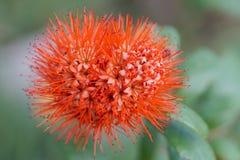 Fleur de transitoire image stock
