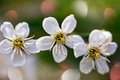 Fleur de trois cerises Photographie stock libre de droits