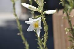 Fleur de trompette blanche avec le pistil plus grand que les stamens et l'anthère remplis de pollen photographie stock libre de droits