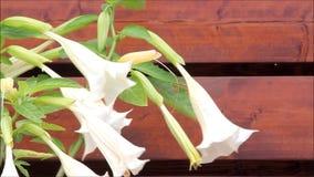 Fleur de trompette d'ange banque de vidéos