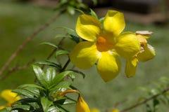 Fleur de trompette d'or (cathartica d'Allamanda) Photographie stock libre de droits