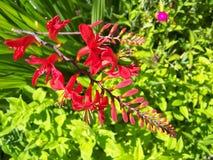 Fleur de trompette de Firery Images libres de droits