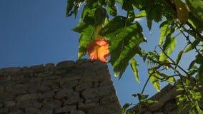 Fleur de trompette orange ensoleillée d'ange au picchu de machu banque de vidéos