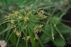 Fleur de Tsiperus Photo libre de droits