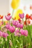 Fleur de tulipe Photographie stock libre de droits