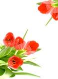 Fleur de tulipe photos stock