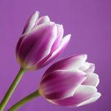 Fleur de tulipe : Actions Phot de jour de valentines/mères Photographie stock
