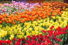 Fleur de tulipe avec le fond vert de feuille dans le domaine de tulipe à l'hiver ou à la journée de printemps pour la conception  Photos libres de droits