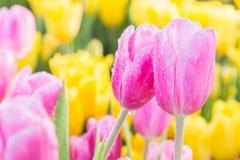 Fleur de tulipe avec le fond vert de feuille dans le domaine de tulipe à l'hiver ou à la journée de printemps pour la conception  Photos stock
