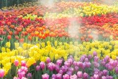 Fleur de tulipe avec le fond vert de feuille dans le domaine de tulipe à l'hiver ou à la journée de printemps pour la conception  Images stock