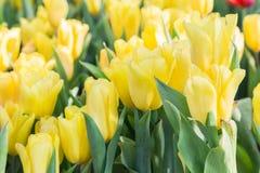 Fleur de tulipe avec le fond vert de feuille dans le domaine de tulipe à l'hiver ou à la journée de printemps pour la conception  Image stock