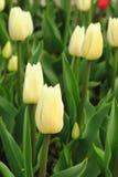 Fleur de tulipe avec le fond vert de feuille dans le domaine de tulipe ? l'hiver ou ? la journ?e de printemps pour la d?coration  photographie stock libre de droits