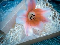 Fleur de tulipe sur les planches foncées en bois de grange Photos libres de droits