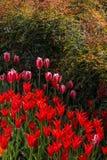 Fleur de tulipes de couleur rouge au printemps Image stock