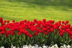 Fleur de tulipes de couleur rouge au printemps Photos stock