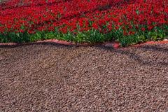 Fleur de tulipes de couleur rouge au printemps Photographie stock