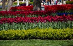 Fleur de tulipes de couleur rouge au printemps Images libres de droits