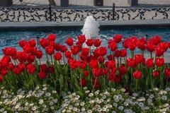 Fleur de tulipes de couleur rouge au printemps Image libre de droits