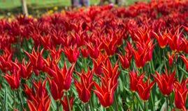 Fleur de tulipes de couleur rouge au printemps Photo stock