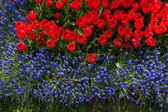Fleur de tulipes de couleur rouge au printemps Photographie stock libre de droits