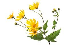 Fleur de Tupinambo Photographie stock libre de droits