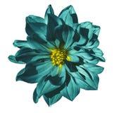Fleur de turquoise de dahlia sur un fond blanc d'isolement avec le chemin de coupure closeup Aucune ombres Images stock