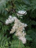 Fleur de typhina de Rhus photographie stock