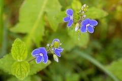 Fleur de véronique de Germander dans la floraison pourpre bleue dans le Gard Image libre de droits