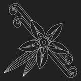Fleur de vanille avec le point et les feuilles Épice pour les produits culinaires Image libre de droits
