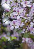Fleur de variegata de Bauhinia photo libre de droits