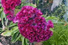 Fleur de variété Cristata d'Argentea de Celosia Photo libre de droits