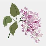 Fleur de vecteur d'aquarelle de vintage Branchement de lilas Illustration romantique Photos stock