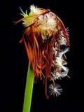 Fleur de vent Photographie stock
