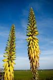 Fleur de Vera d'aloès Image stock