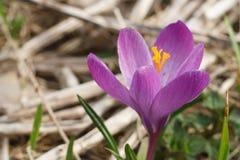 Fleur de vernus de crocus Photos libres de droits