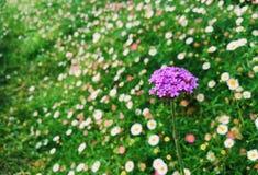 Fleur de verveine Photos libres de droits