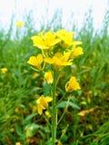 Fleur de viol dans un jardin photo stock