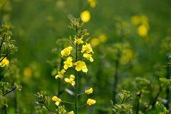 Fleur de viol tôt dans le printemps photos stock