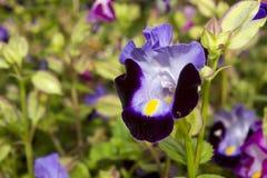 Fleur de Violet Torenia Photos libres de droits