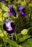 Fleur de Violet Torenia Photographie stock