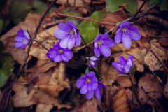 Fleur de violette de fleur Photographie stock