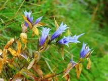Fleur de violette de gentiane Photo libre de droits