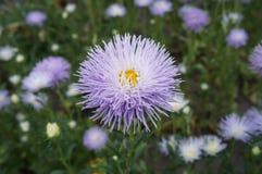 Fleur de violette pâle d'aiguille de callistephus d'aster avec le centre jaune photos libres de droits