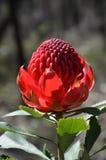 Fleur de Waratah d'Australien Images libres de droits
