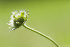 Fleur de Weed Photographie stock