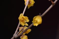 Fleur de Wintersweet Photographie stock libre de droits