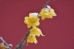 Fleur de Wintersweet Photographie stock